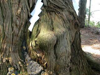 姥杉の瘤 知内町には、「姥杉」と呼ばれる根元に乳房の形をした瘤のある杉の巨木があ...  遊ぶべ
